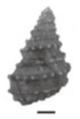 Margarya yangtsunghaiensis shell 2.png