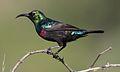 Marico sunbird, Cinnyris mariquensis at Mapungubwe National Park, Limpopo, South Africa (29431221594).jpg