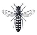 Masaris vespiformis f.png