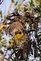 Masked weaver - Queen Elizabeth National Park, Uganda (6).jpg