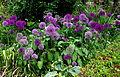 Massif de fleurs d'ail - Jardins de Bagatelle.JPG