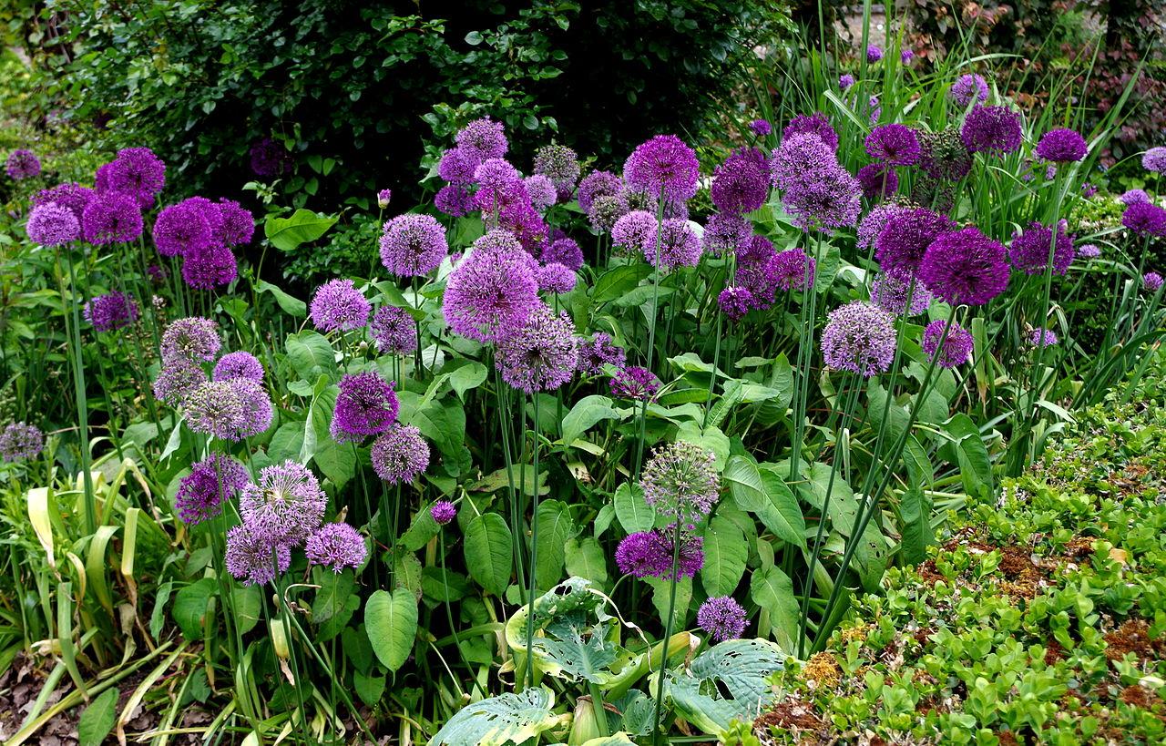 File:Massif de fleurs d'ail - Jardins de Bagatelle.JPG ...
