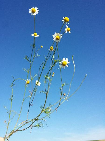 File:Matricaria chamomilla sl1.jpg