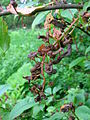Mature taphrina padi 'plums'.JPG