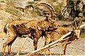 May Steinbock Zoologischer Garten Berlin - Wildlife ^ Zoo Photography 1989 - panoramio.jpg