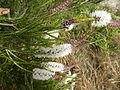 Melaleuca huegelii (foliage, flowers).JPG