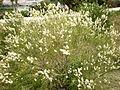 Melaleuca huegelii 1c.JPG