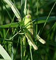 Melanoplus bivittatus (Two-striped Grasshopper) - nymph - Flickr - S. Rae.jpg