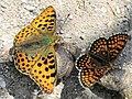 Melitaea athalia & Issoria lathonia 13.jpg