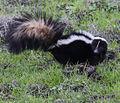 Mephitis mephitis Striped skunk alerted Las Trampas sm.jpg