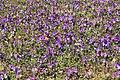 Meppen - Borkener Paradies + Viola tricolor 07 ies.jpg