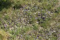 Meppen - Zum Paradies + Viola tricolor 02 ies.jpg