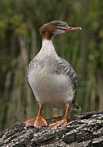 Mergus Merganser frontal Richard Bartz.jpg