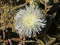 Mesembryanthemum crystallinum - Eispflanze PICT0015.jpg