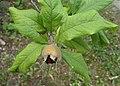 Mespilus germanica kz01.jpg
