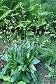 Micranthes pensylvanica kz05.jpg