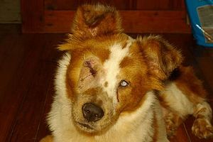English: Australian Shepherd with Microphthalm...