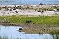 Mignattai (Plegadis falcinellus) in compagnia di una coppia di garzette (Egretta Garzetta) - panoramio.jpg