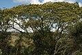 Mimosa-scabrella.jpg