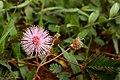 Mimosa pudica Bangalore.jpg