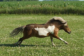 Overo - Image: Miniature Horse Runs Through the Pasture