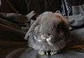 Miniature Lop3 - Grey.jpg