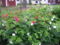 Mirabilisjalapa red white.jpg