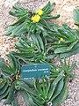 Mislabelled Glottiphyllum longum specimens -Jardin des Plantes.jpg