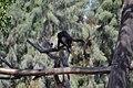 Mono araña (Ateles geoffrogy)2.jpg