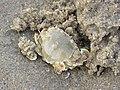 Moon crab IMG 7548.jpg