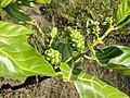 Morinda citrifolia 15.jpg