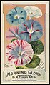 Morning glory, from seeds put up by D. M. Ferry & Co., Detroit, Mich. (front) - 8960908967.jpg