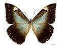 Morpho telemachus telemachus MHNT Femelle dos.jpg