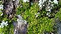 Moss on pine tree.jpg