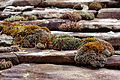 Mosses on stone-tiled roof.jpg