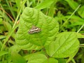 Moth Hawaiian Beet Webworm (Spoladea recurvalis) from Madayipara DSCN2234.jpg