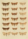 Moths of the British Isles Plate134.jpg