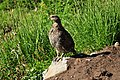 Mount Rainier - September 2017 - White-tailed ptarmigan 01.jpg