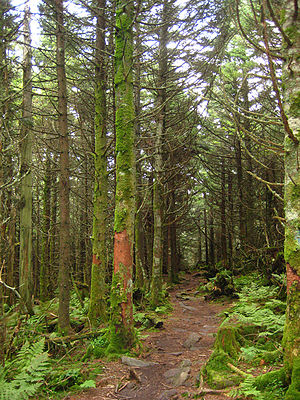 Mount Rogers - Forest of red spruce and Fraser fir on the slopes of Mount Rogers
