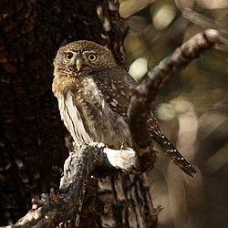 Mountain Pygmy Owl Glaucidium gnoma Arizona.jpg