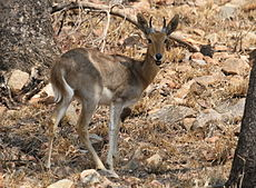 Mountain Reedbuck, Redunca flavorufula at Borakalalo National Park, South Africa (10001341816).jpg