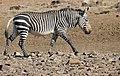 Mountain Zebra (Equus zebra) (51580787688).jpg