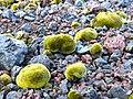 Mousses sur le fell field, Ditrichum strictumLycopodium magellanicum - panoramio.jpg