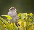 Mrs Sparrow (38024157184).jpg
