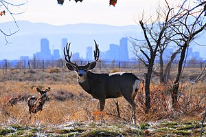 Rocky Mountain Arsenal - Mule deer at the Rocky Mountain Arsenal National Wildlife Refuge with Denver, CO in the background. (photo 2009)