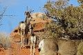 Mule Deer (8555385050).jpg