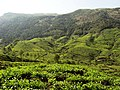 Munnar Tea - panoramio.jpg