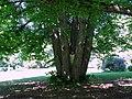 Mustio Mansion. Puistoon. Vanha puu. Valokuva Victor Belousov. - panoramio.jpg