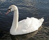 Mute swan.jpg