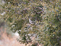 Myadestes townsendi Juniperus scopulorum 2.jpg